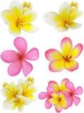 Belle carte cadeaux avec des plumerias jaunes et roses Photos libres de droits