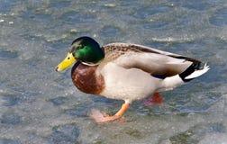 Belle carte postale avec un canard marchant sur la glace Image stock