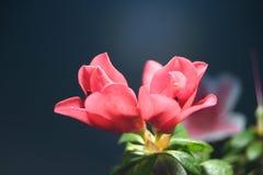 Belle centrale de fleur d'Asalea Photos libres de droits