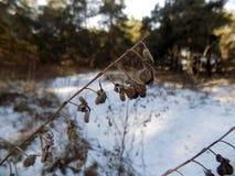 Belle centrale L'hiver plante le fond Paysage de nature de forêt d'hiver Champ blanc vert Photos libres de droits