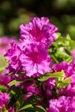 Belle Cerise Flowers intelligente dans un jardin de ressort images libres de droits
