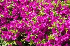 Belle Cerise Flowers intelligente dans un jardin de ressort image stock