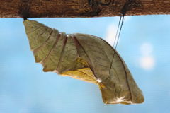 chrysalide de papillon de monarque beau cocon image stock image du instruction papillon. Black Bedroom Furniture Sets. Home Design Ideas