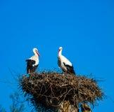 Belle cicogne bianche nel nido sul backgroung del cielo blu, sprin Fotografia Stock
