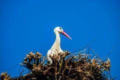 Belle cicogne bianche nel nido sul backgroung del cielo blu, sprin Immagini Stock Libere da Diritti