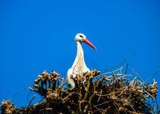 Belle cicogne bianche nel nido sul backgroung del cielo blu, sprin Fotografie Stock