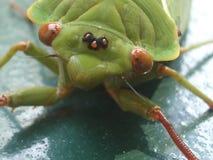 Belle cigale verte avec de grands yeux bruns images libres de droits