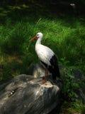 Belle cigogne Photos libres de droits