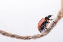Belle coccinelle rouge marchant dans un fil Photo stock