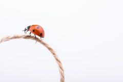 Belle coccinelle rouge marchant dans un fil Photo libre de droits