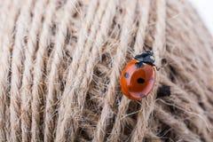 Belle coccinelle rouge marchant dans un fil Images stock