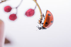 Belle coccinelle rouge marchant sur un fruit sauvage Photo stock