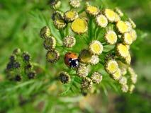 Belle coccinelle rouge sur les fleurs jaunes, Lithuanie Image libre de droits