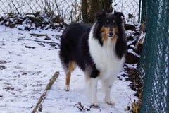 Belle Collie Named Trixie rugueuse tricolore photo libre de droits