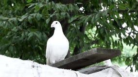 Belle colombe de blanc banque de vidéos