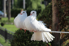 Belle colombe deux blanche, symbole de paix et amour Photographie stock