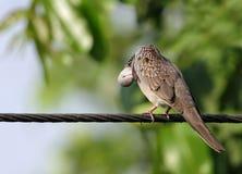 Belle colombe repérée images stock