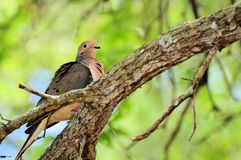 Colombe, pigeon, Columbidae Image libre de droits
