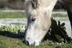 Belle consommation irlandaise de poney Image libre de droits