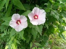 Belle coppie del fiore Fotografie Stock Libere da Diritti