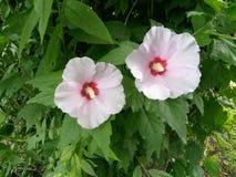 Belle coppie del fiore Immagine Stock