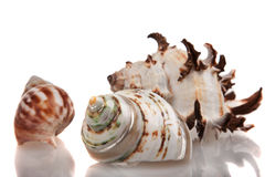 Belle coquille de coque de mer photographie stock libre de droits