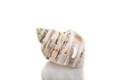 Belle coquille de coque de mer image stock