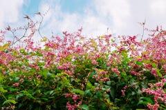 Belle Coral Vine rose ou plante grimpante ou chaîne mexicaine de l'amour la Floride photo stock