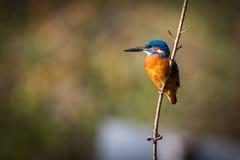 belle couleur de martin-pêcheur au soleil bleue et brune Photo libre de droits
