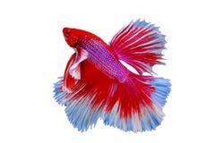 Belle couleur de poissons siamois de betta photographie stock libre de droits