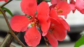 Belle couleur rouge Bush de floraison image libre de droits