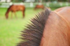 Belle crinière de cheval thaïlandais Fond de Droves Foyer sélectif Photos stock