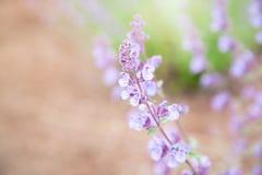 Belle désambiguisation de fleur de Salvia avec la lumière du soleil dans GA Photos libres de droits