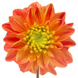 Belle Dahlia Close-Up Isolated orange sur le fond blanc Photos stock