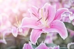 Belle de rose fleur lilly au-dessus de fond brouillé de jardin Image stock