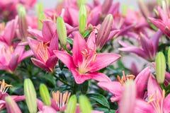 Belle de rose fleur lilly dans le jardin Image libre de droits