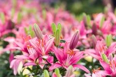 Belle de rose fleur lilly dans le jardin Photographie stock libre de droits