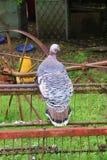 Belle dinde fermière avec le plumage épais à une ferme dans la campagne l'autriche image libre de droits