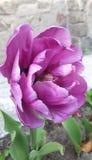 Belle double tulipe rose de pivoine Photos libres de droits