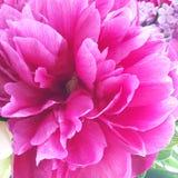 Belle doucement fleur rose de pivoine avec des veines photo libre de droits