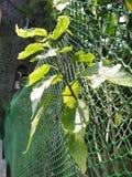 Belle e foglie verdi fresche sul ramo Immagine Stock