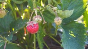 Belle e fragole deliziose fresche in giardino stock footage