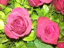 Belle e rose fresche con le foglie verdi Immagini Stock