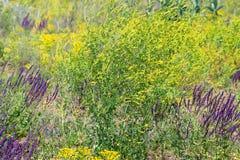Belle erbe verdi della steppa in fioritura Immagini Stock Libere da Diritti
