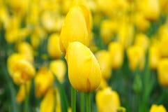 Belle et élégante tulipe après pluie photos libres de droits