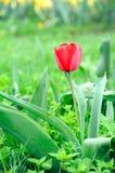 Belle et élégante tulipe rouge après pluie image stock
