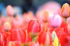 Belle et élégante tulipe rouge après pluie photo stock
