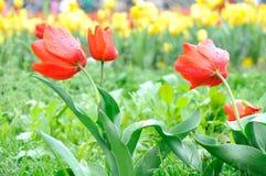 Belle et élégante tulipe rouge après pluie images stock