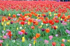 Belle et élégante tulipe rouge après pluie image libre de droits
