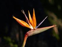 Belle et colorée fleur ; oiseau du paradis Photographie stock